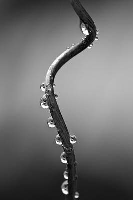 Water Droplets Photograph - Curly Vine by Anya Brewley schultheiss
