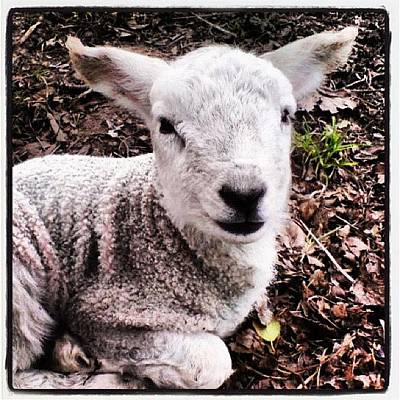 Sheep Photograph - #cute #baby #lamb #sheep #spring by Miss Wilkinson
