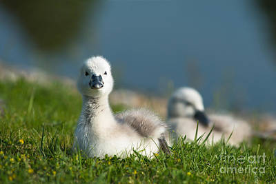 Swans Photograph - Cute Cygnets by Andrew  Michael
