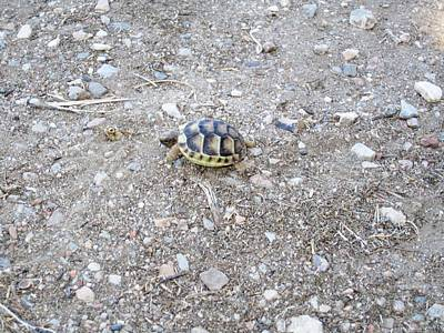 Photograph - Cute Mini Turtle One Step At A Time  by John Shiron