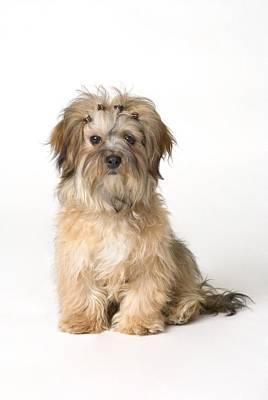 Barrette Photograph - Cute Miniature Terrier by Corey Hochachka