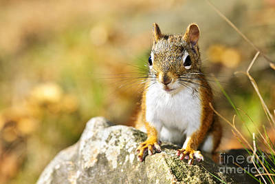 Animals Photos - Cute red squirrel closeup 2 by Elena Elisseeva