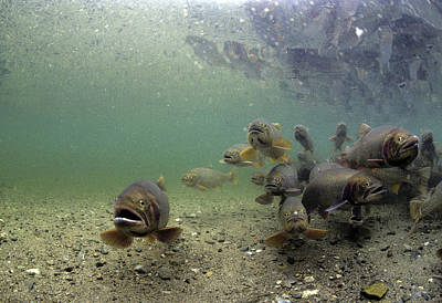 Cutthroat Trout School In Lake Art Print by Michael S. Quinton