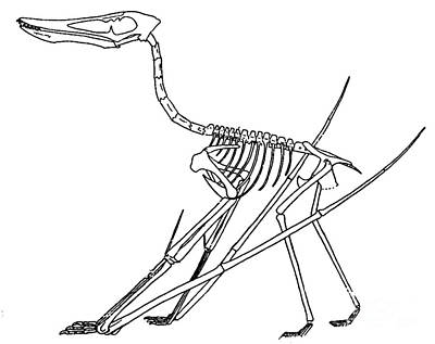 Cycnorhamphus Suevicus Art Print by Science Source