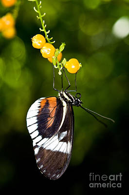 Photograph - Cydno Longwing Butterfly by Terry Elniski
