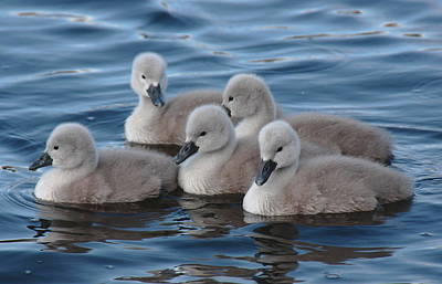Cygnets At Menlo Pier Art Print