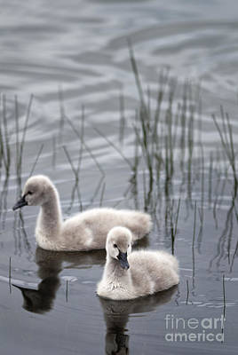 Photograph - Cygnets by David Lade