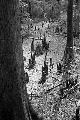 Cypress Swamp Photograph - Cypress Knees by Gayle Johnson