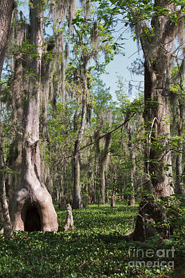 Cypress Swamp Photograph - Cypress Trees And Water Hyacinth In Lake Martin by Louise Heusinkveld