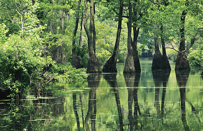 Cypress Trees Cross A Waterway Art Print by Medford Taylor