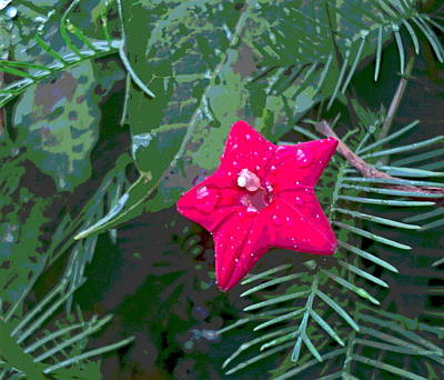 Impressionist Style Photograph - Cypress Vine Blossom With Rain Drops by Padre Art