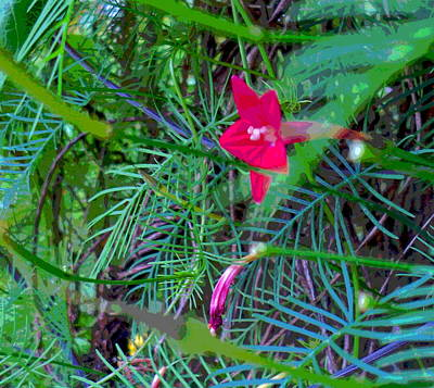 Impressionist Style Photograph - Cypress Vine Flower In Jungle Of Foliage by Padre Art