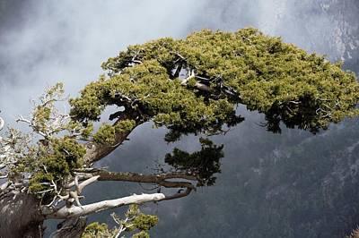 Cypresses (cupressus Sempervirens) Art Print by Bob Gibbons