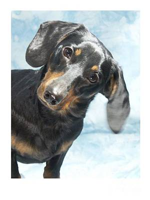 Dachshund 441 Art Print by Larry Matthews