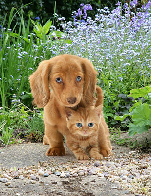 Photograph - Dachshund And Tabby by Jane Burton