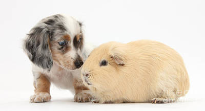 House Pet Photograph - Dachshund Pup Yellow Guinea Pig by Mark Taylor