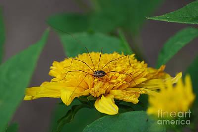 Photograph - Daddy Long Leg On Flower by Grace Grogan