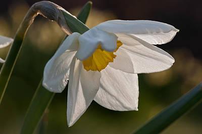 Daffodil Closeup Art Print by Ron Smith