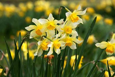 Photograph - Daffodil Gaggle by Ed Lukas