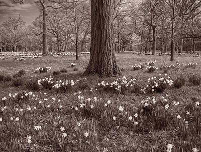 Daffodil Glade Number 2 Bw Original by Steve Gadomski