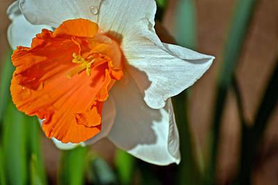Daffodil Hybrid Original