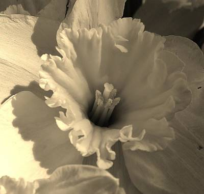 Photograph - Daffodil In Sepia Tone by Bruce Bley