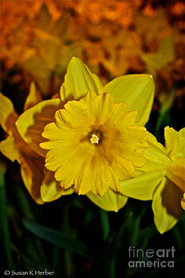 Photograph - Daffodil Leading The Pack by Susan Herber