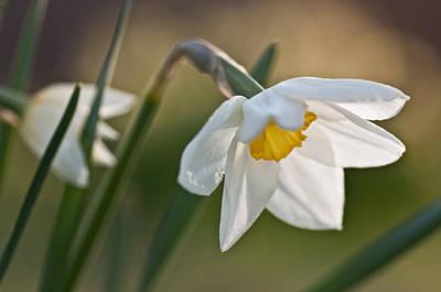 Daffodil Art Print by Ron Smith