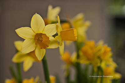 Photograph - Daffodiles by Dorothy Cunningham