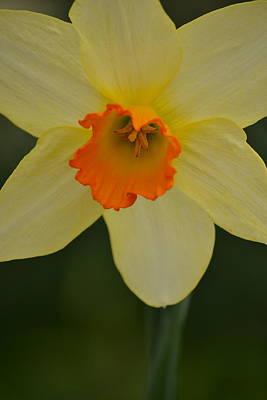 Daffodilicious Art Print