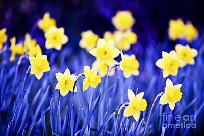 Daffodil Photograph - Daffodils Flowers by Elena Elisseeva