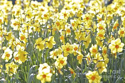 Art Print featuring the photograph Daffodils  by Gary Bridger