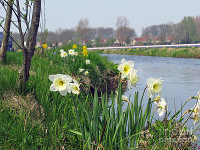 Photograph - Daffodils In Holland 01 by Ausra Huntington nee Paulauskaite