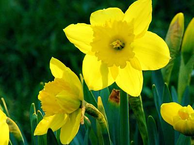 Art Print featuring the photograph Daffodils by Sherman Perry