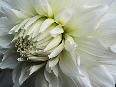 Dahlia Beauty Art Print