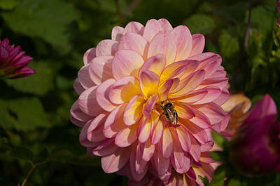 Photograph - Dahlia Bee Mine by Tikvah's Hope
