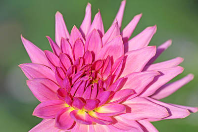 Becky Photograph - Dahlia Blossom by Becky Lodes