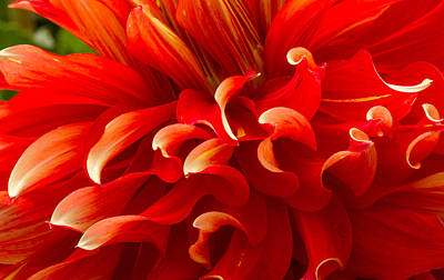 Photograph - Dahlia Close Up by Jean Noren