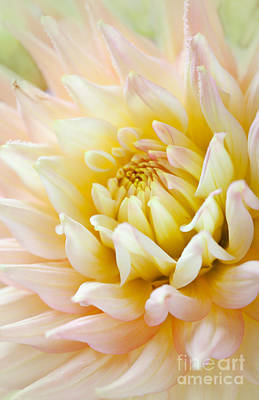 Warm Color Photograph - Dahlia Flower 03 by Nailia Schwarz