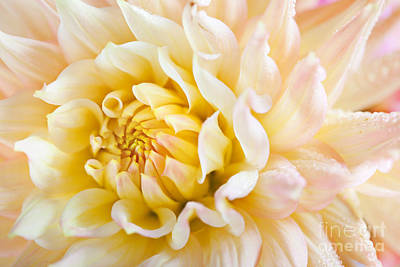 Warm Color Photograph - Dahlia Flower 08 by Nailia Schwarz