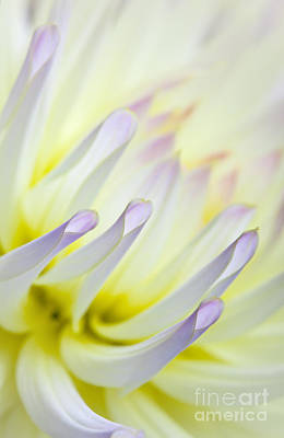 Warm Color Photograph - Dahlia Flower 09 by Nailia Schwarz