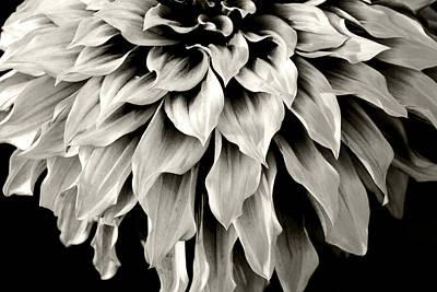 Dahlia Flower  Art Print by Sumit Mehndiratta