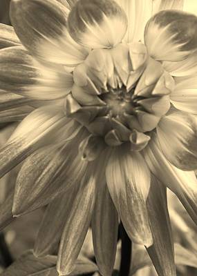 Photograph - Dahlia In Sepia by Bruce Bley