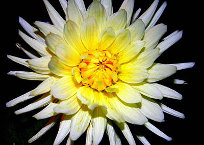 Print featuring the photograph Dahlia In White And Yellow by Laurel Talabere