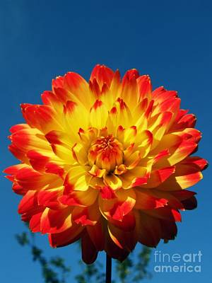 Dahlia 'procyon' Print by Ian Gowland and Photo Researchers
