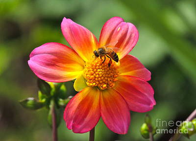 Photograph - Dahlia Sun by Eve Spring