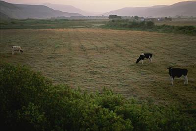 Dairy Cattle Graze In An Irrigated Art Print