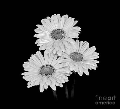 Photograph - Daisies - Black And White by Larry Carr