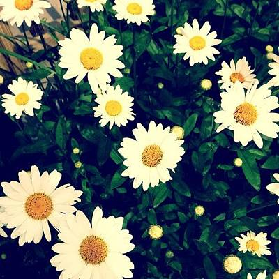 Daisies Photograph - Daisies by Cassie OToole