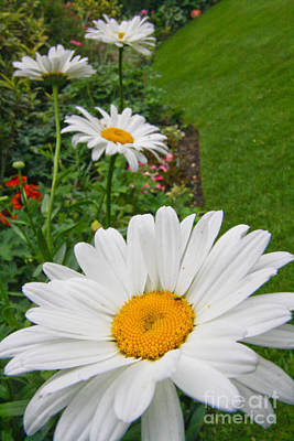 Photograph - Daisies Daisies by Jo